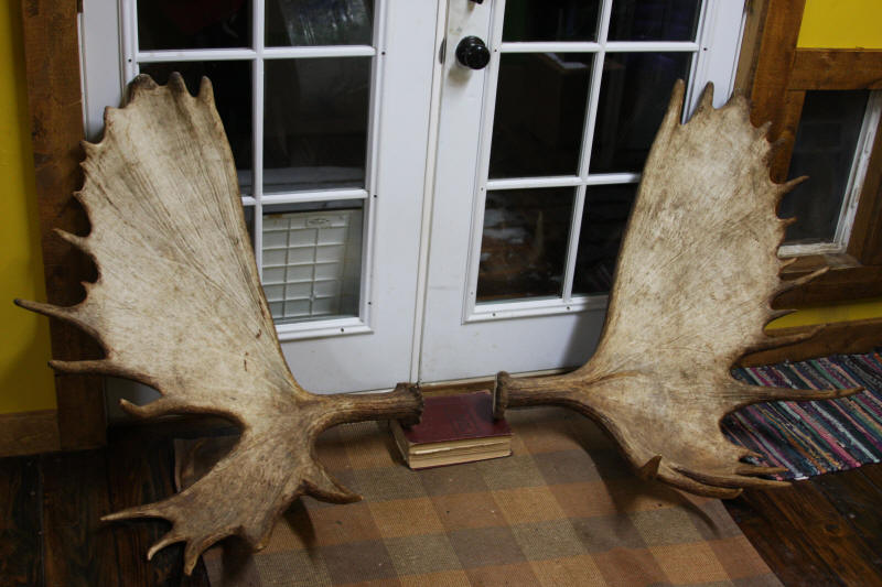Large Moose Racks For Sale And Moose Antler Sets