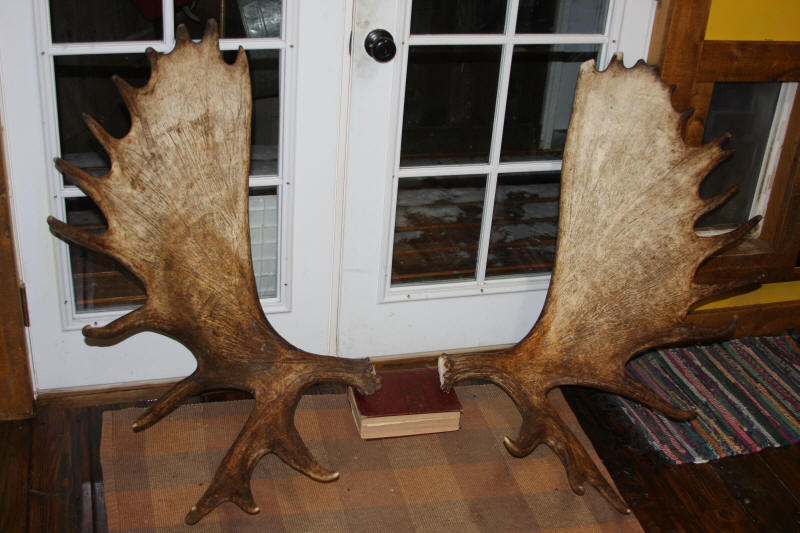 Moose Shed Antlers for Sale